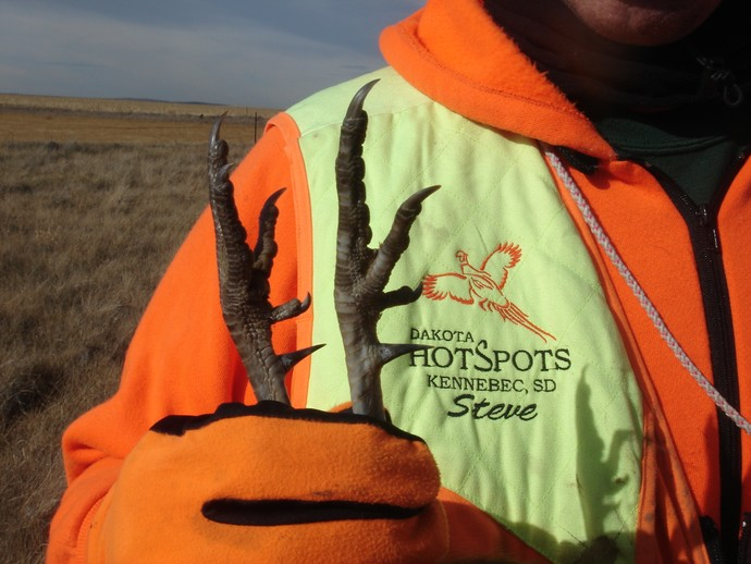 Steve of Dakota Hotspots holding a wild pheasant that Ryan of 3plains shot in Kennebec, SD on location. Huge spurs!